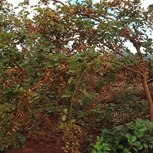 photo of a pongamia tree